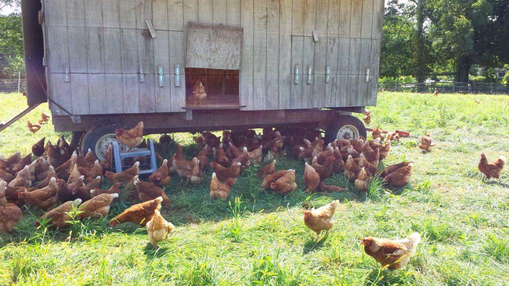 ecologic method of farming chickens
